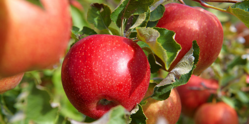 apple food. dirty dozen foods with high pesticide residue - best organic to eat apple food