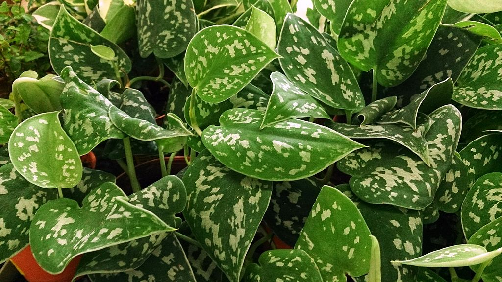 3 pothos - House Plants Vines