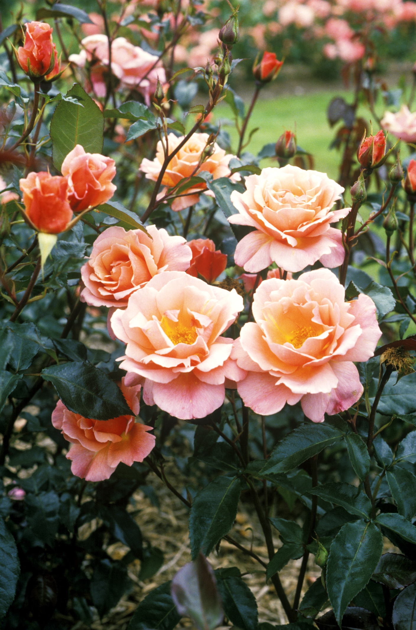 Fun Facts About Roses Things You Didn T Know About Roses
