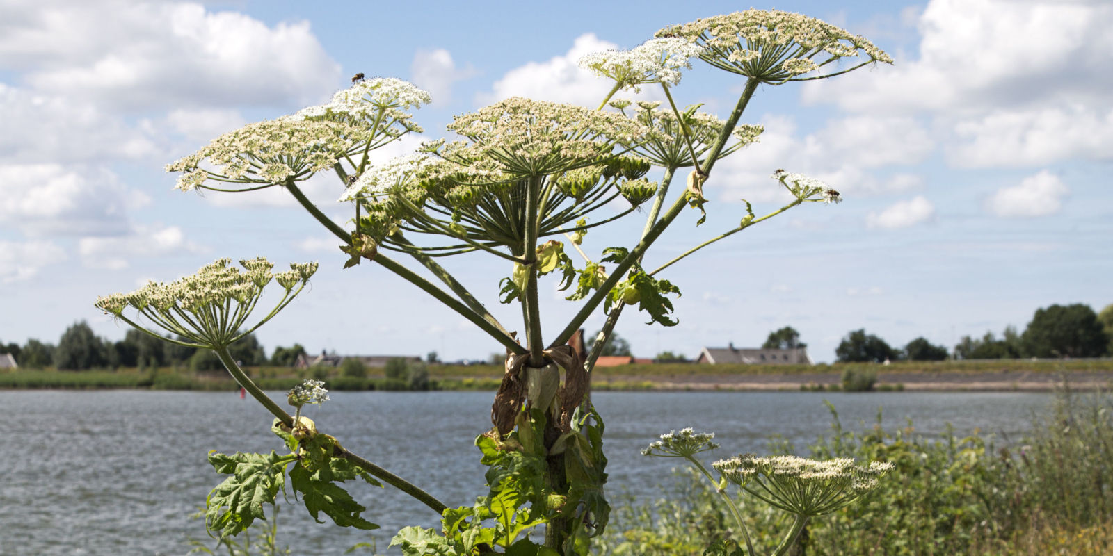 Giant Hogweed Causes Burns This Summer Hogweed Facts