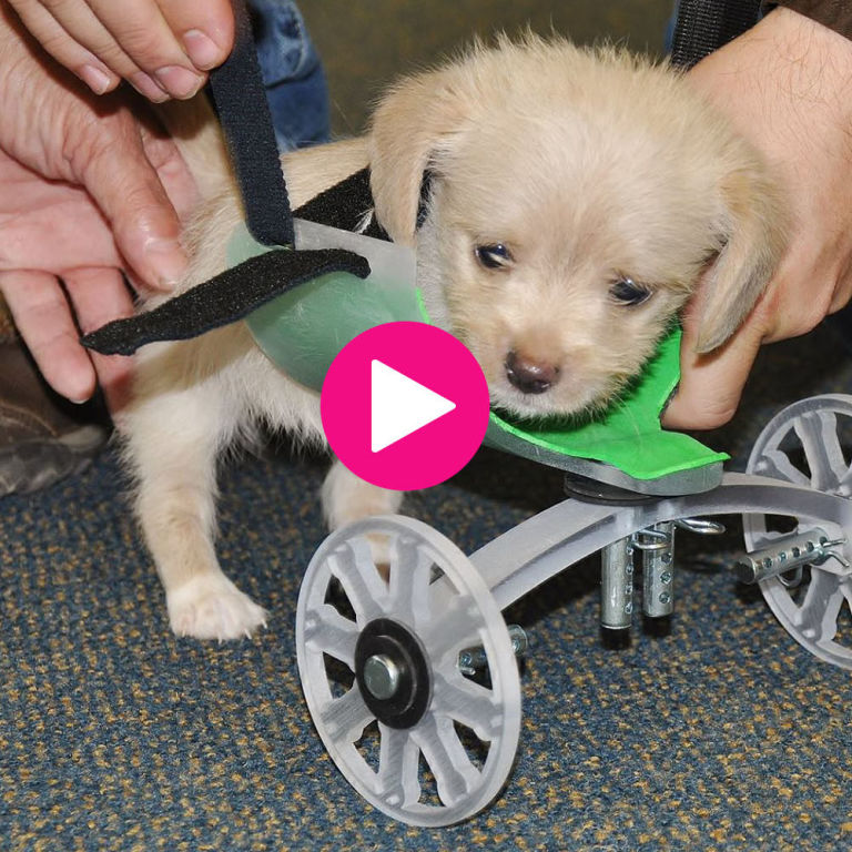Puppy Born Without Front Legs Takes First Steps With