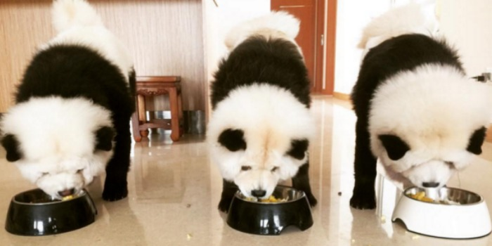 Woman Dyes Chow Chow Dogs To Look Like Pandas Dog Pandas