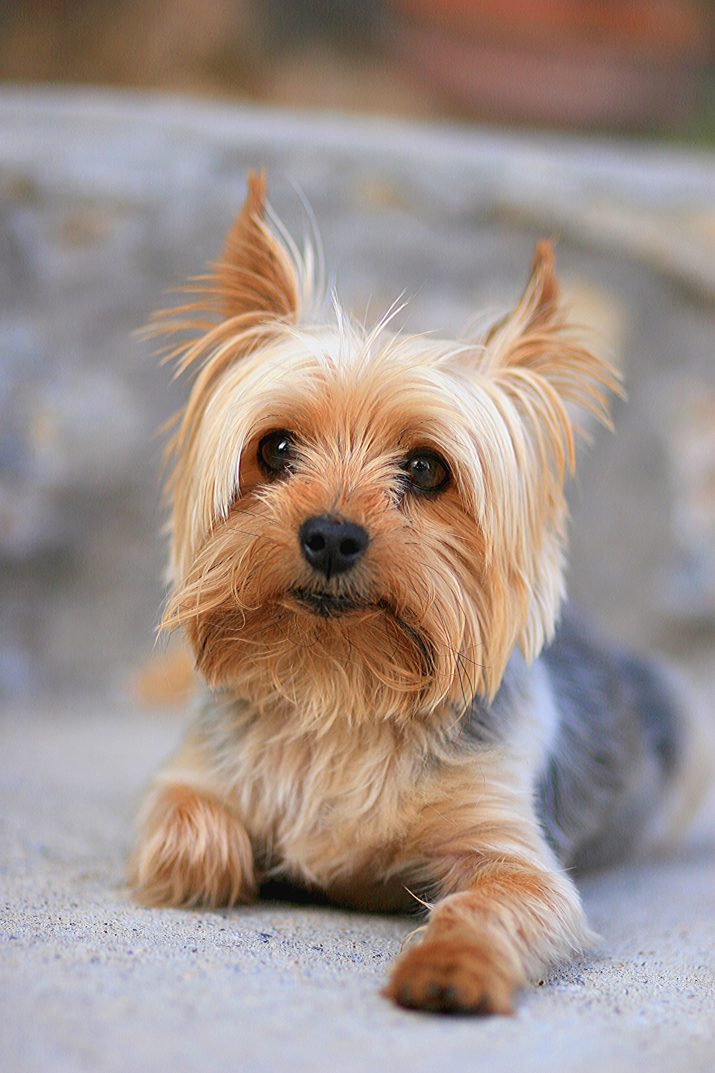 Small Toy Dogs : Best small dog breeds list of top dogs with
