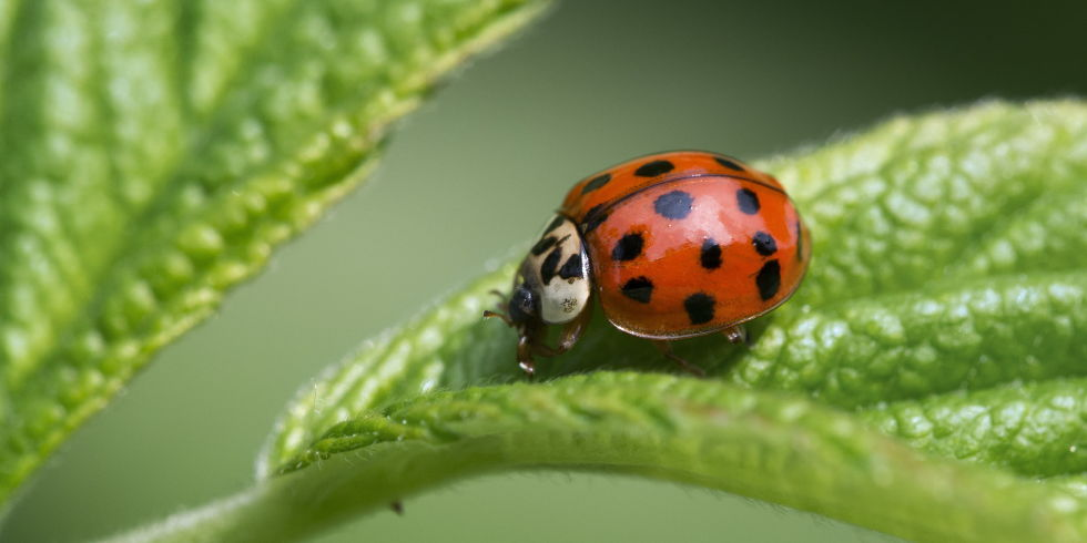 Asian Lady Beetles Bite Dogs - Ladybugs Found In Pets' Mouths
