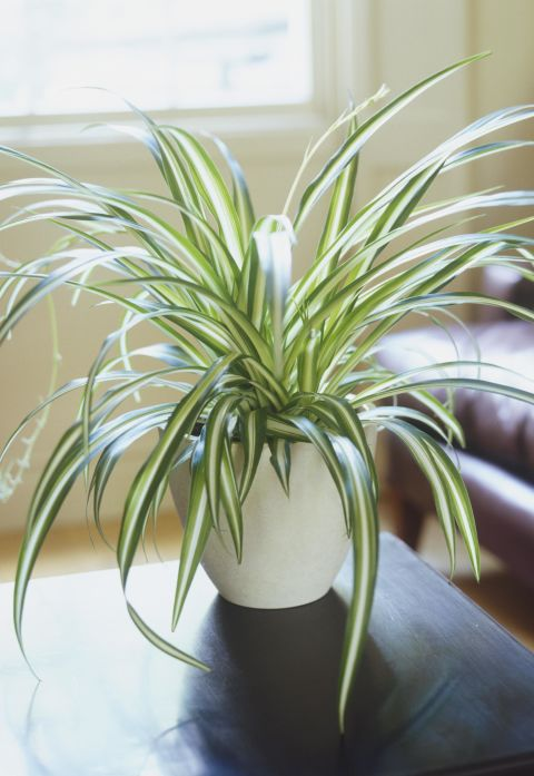 If you get the sniffles every winter due todust, you need a few Spider Plants in your life. You see, the leaves absorb allergens (such as dust) andin two days flatthis plant can eliminate almost 90%of toxins in a room.