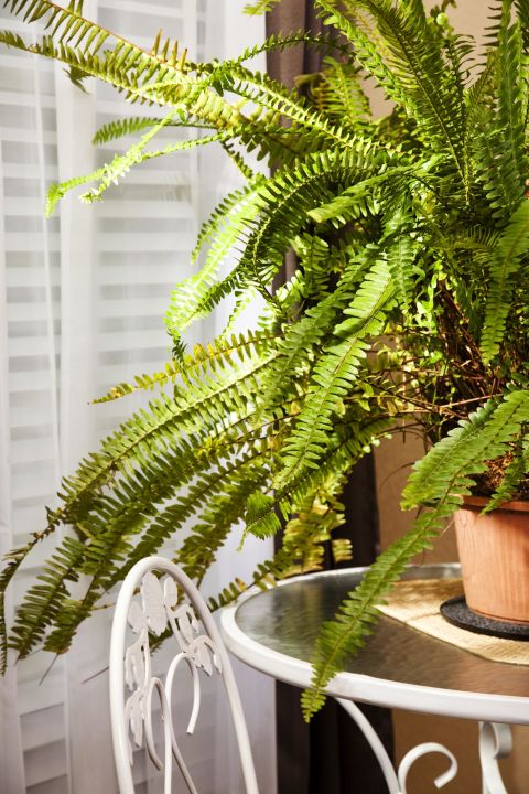 Instead of shelling out for a pricy appliance to regulate dry winter air, place a few Boston Ferns around your home. They release moisture through a process called transpiration, which is when the pores on the bottom of the leaves basically sweat and release much-needed moisture.