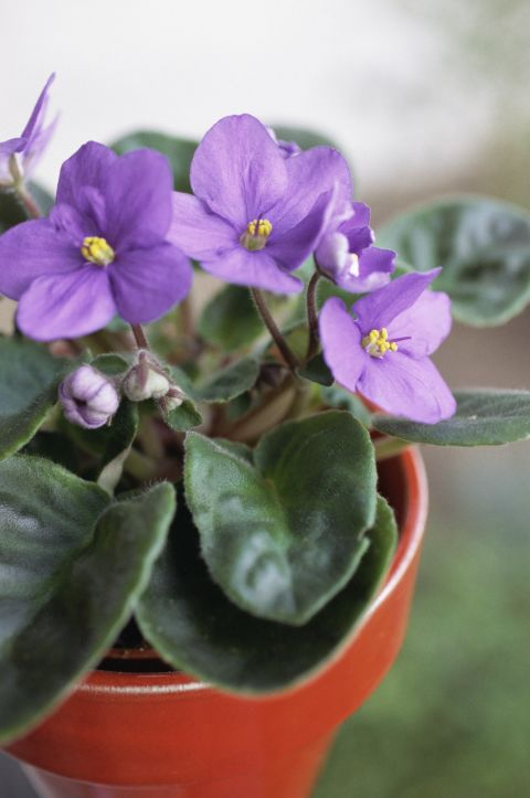 All you have to do is look at the vibrant purple petals on the African Violet and you'll stimulate the release of adrenaline. As a result, your energy levels will rise and oxygen flow to your brain will increase, helping you relax.
