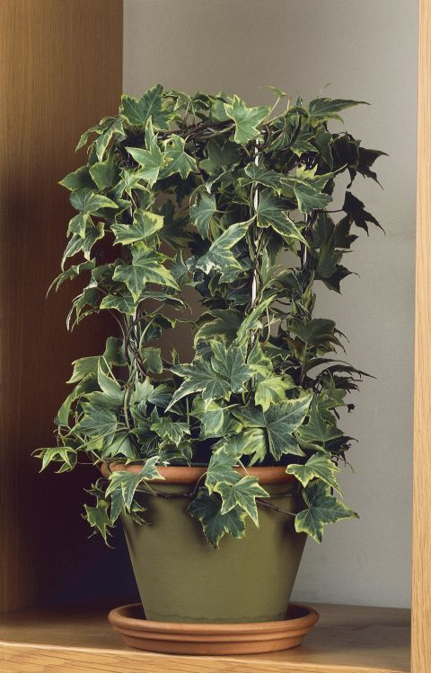 If you want to know the air you're breathing at home is healthy and clean, look no further than English Ivy. NASA scientists found that it's the number one air-filtering houseplantbecause it's the best at absorbing formaldehyde.