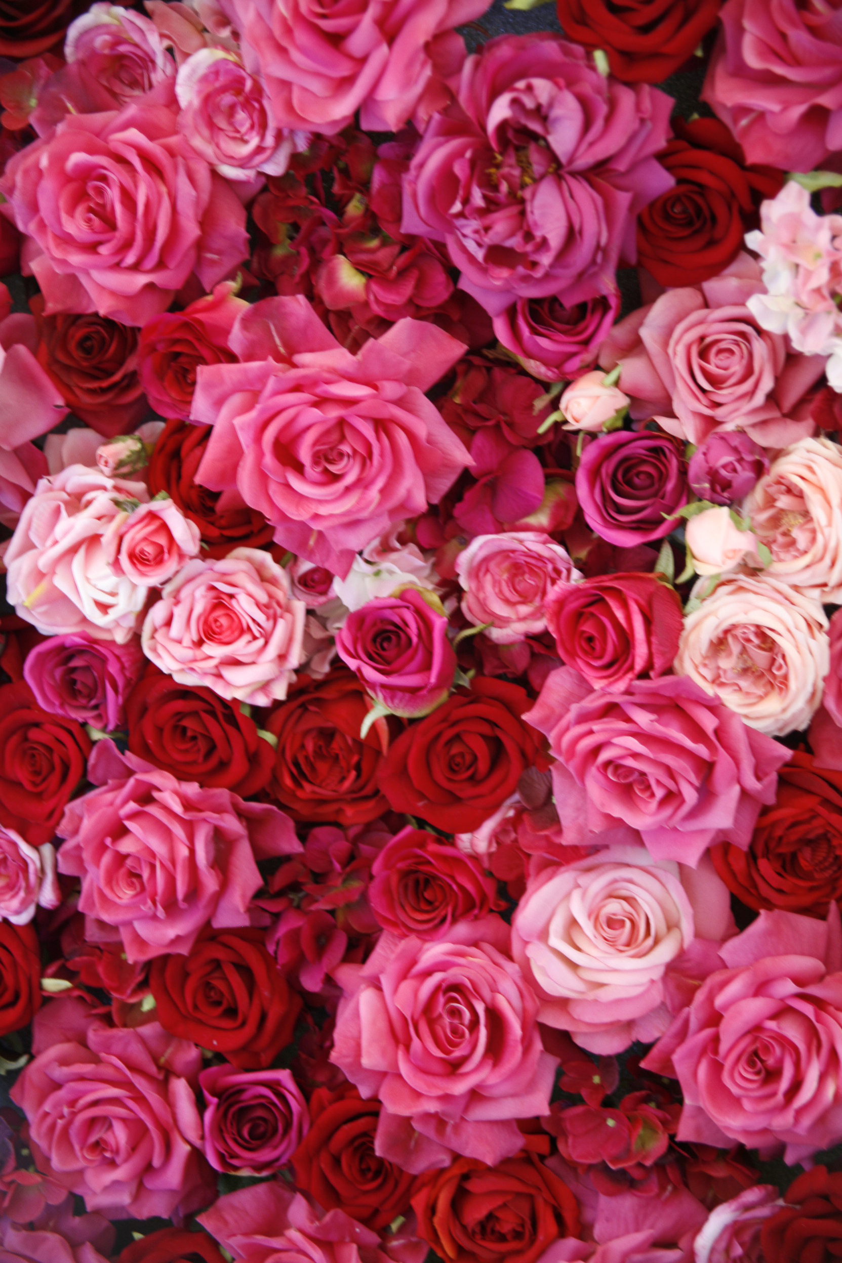14 rose color meanings what do the colors of roses mean Colors that go with rose pink