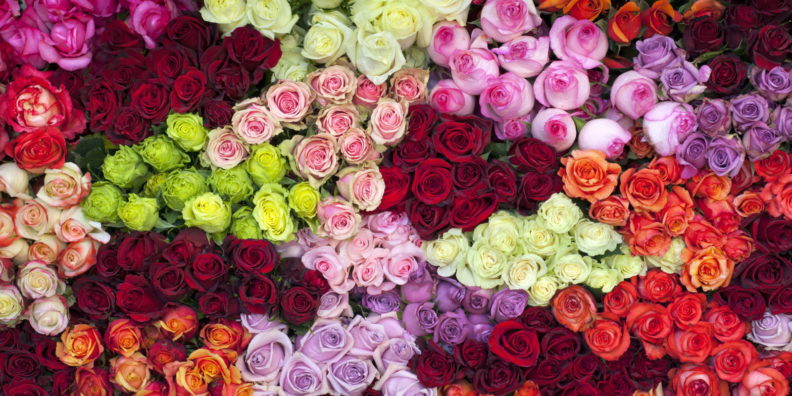 14 rose color meanings what do the colors of roses mean for 14 rose color meanings what do the colors of roses mean for valentines day buycottarizona