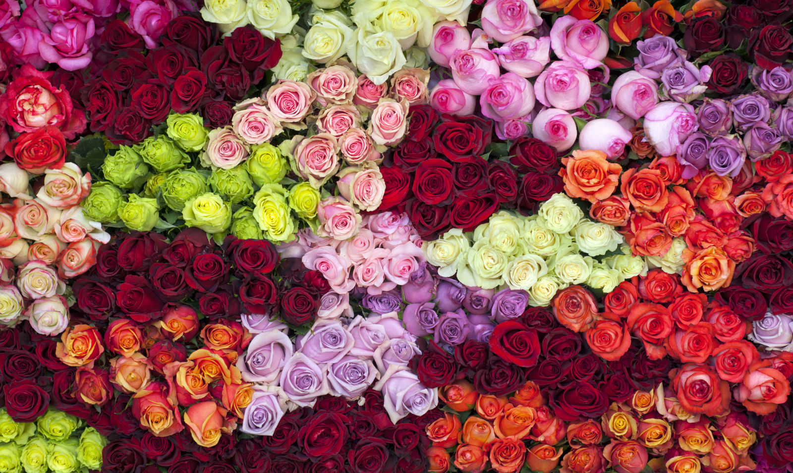 14 rose color meanings what do the colors of roses mean for