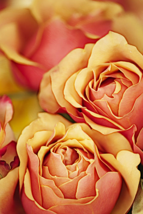 Color of roses meaning dating