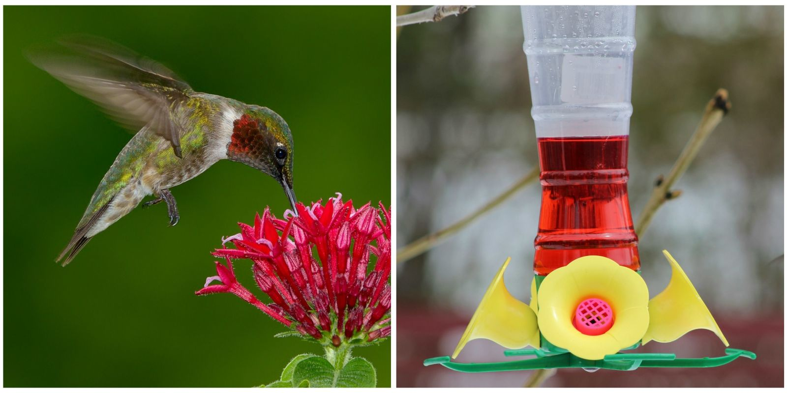 red dye nectar might be killing hummingbirds red dye nectar should you put red food coloring in hummingbird food can you add red food coloring to hummingbird food