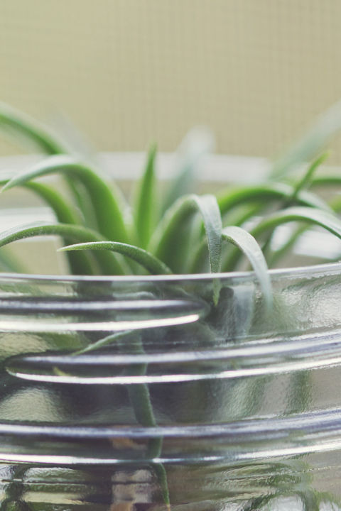 air plant