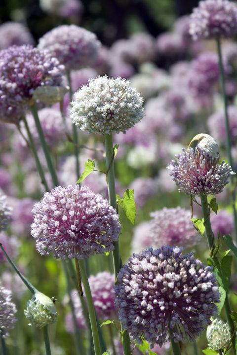 flowering garlic