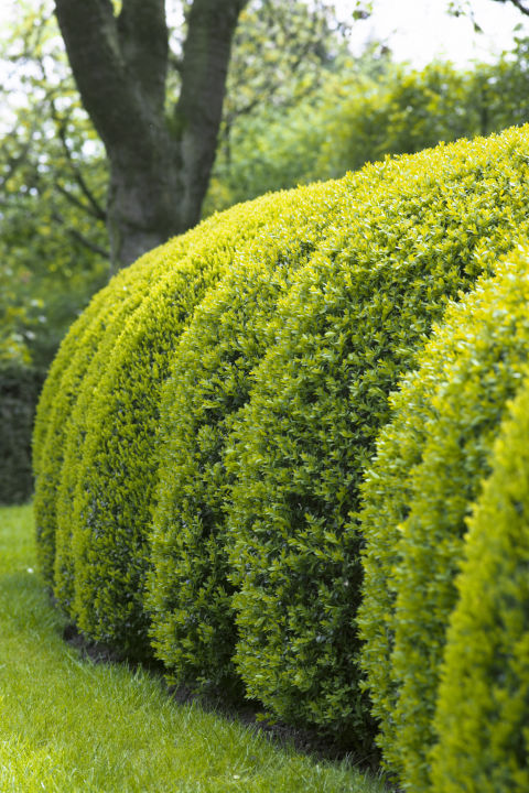 Prune winter-injured foliage from evergreens like boxwood or holly firethorn in the spring. Then wait until early summer to hedge.