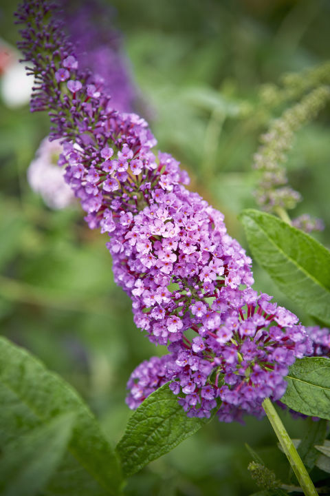 Cut back butterfly bushes and Russian sage to about 4 inches tall. It'll help produce strong, new stems and the best flower display.