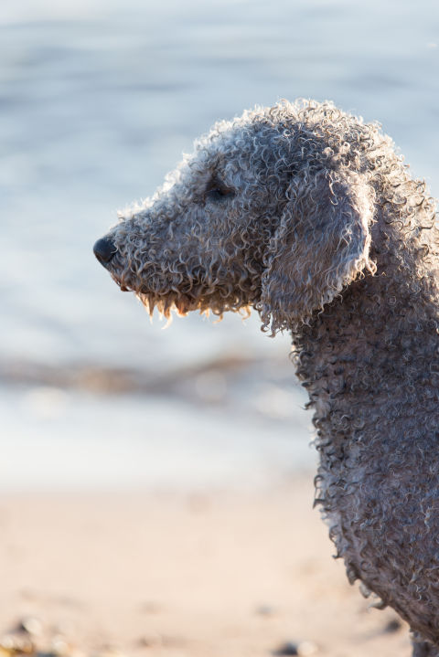 20 Dogs That Don't Shed Much - Hypoallergenic Dog Breeds