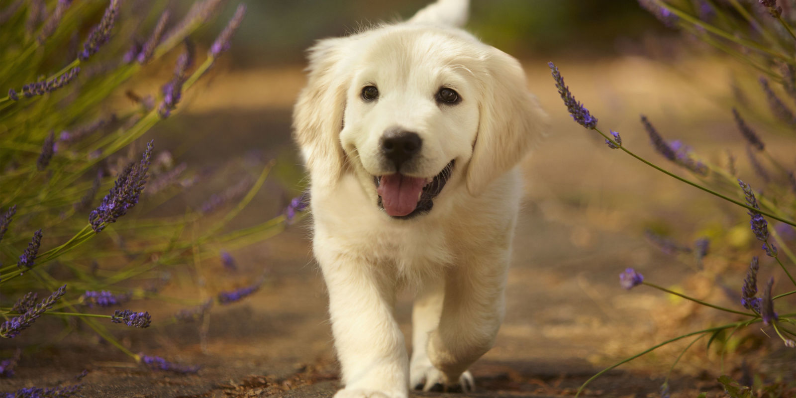 landscape-1500925839-golden-retriever-pu