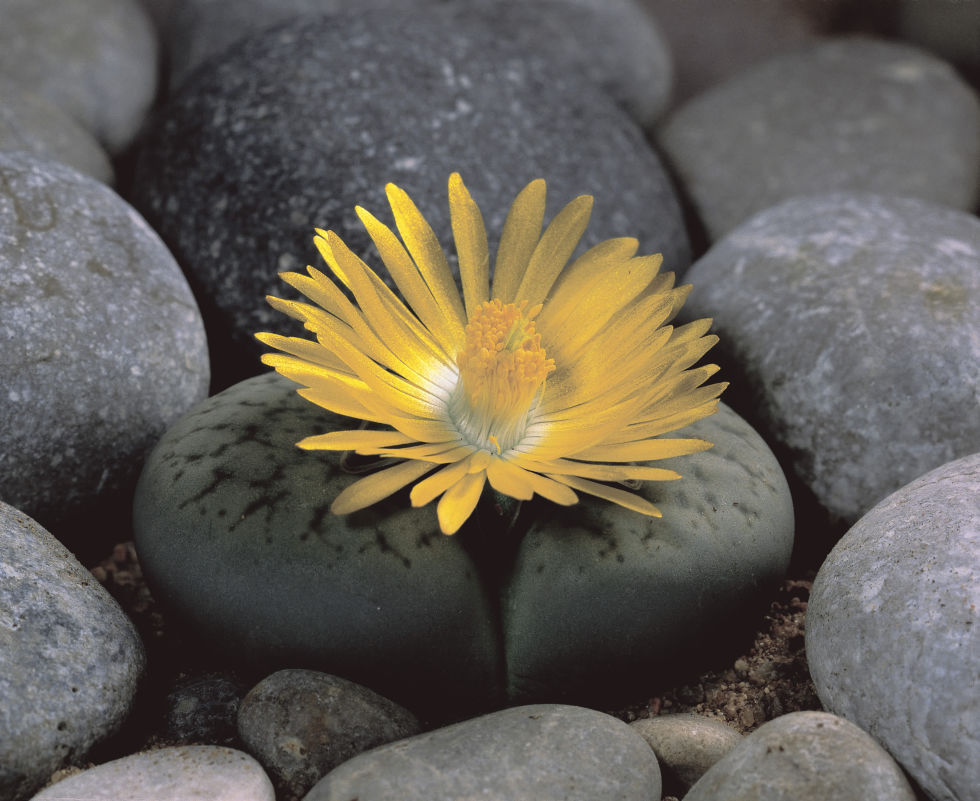 lithops living stones