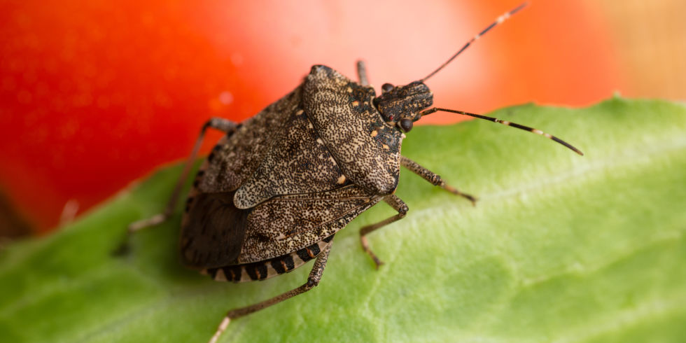 brown marmorated stink bug. How to Get Rid of Stink Bugs in House   Tips for Killing Stink Bugs