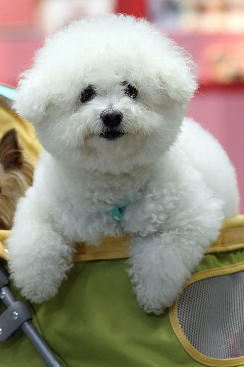 Poofy Small White Dogs