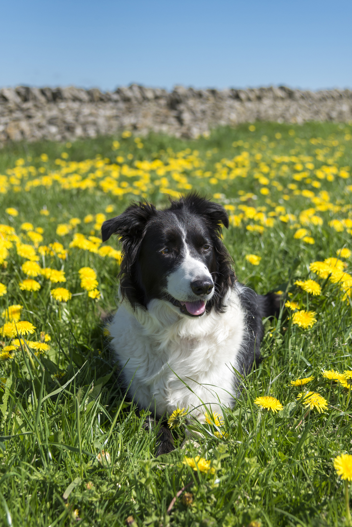 G And H Border Collies Top 25 Smartest Dog Br...