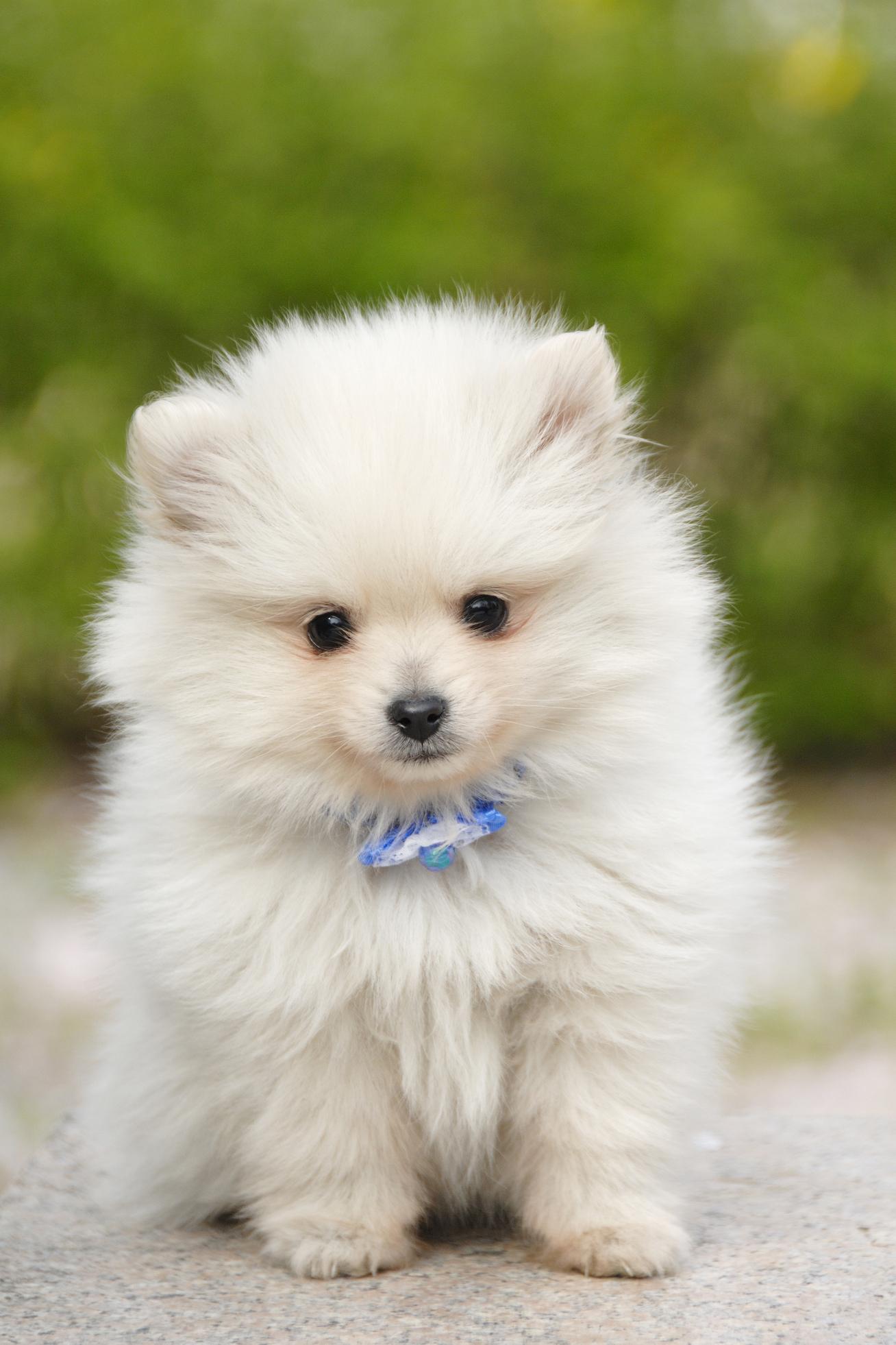 Big Puffy Fluffy Dog