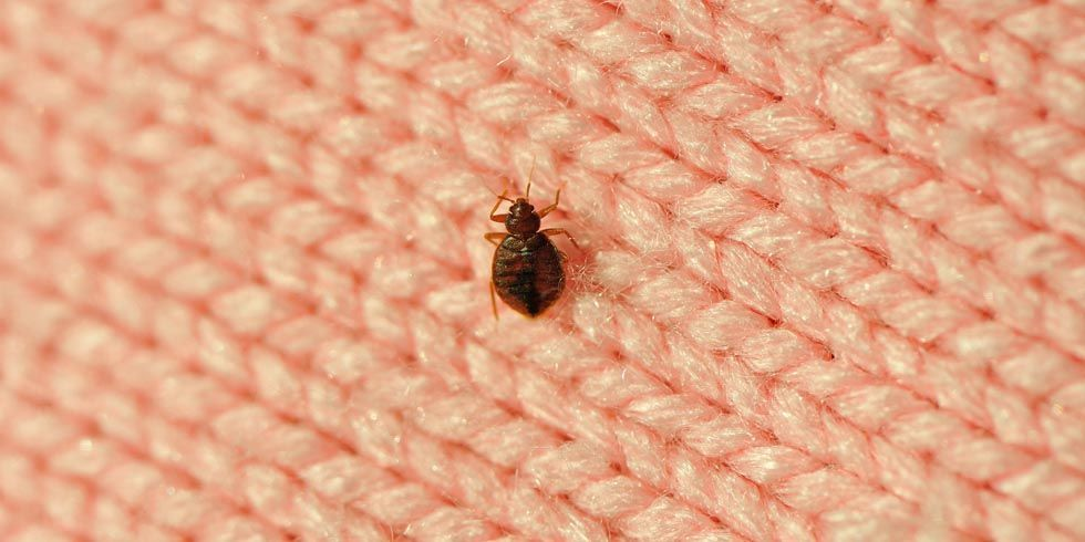 Getty. How to Get Rid of Bedbugs Fast   Best Way to Kill Bed Bugs