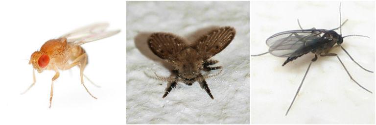 Small bugs in house like fruit flies