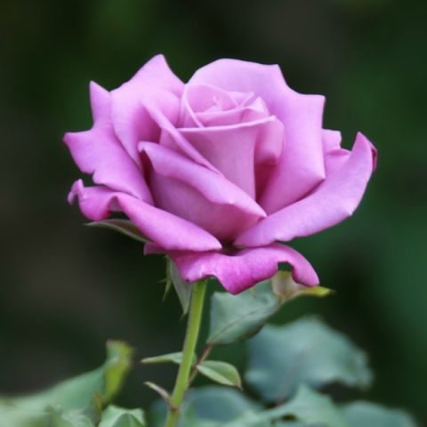The Meaning of Every Rose Color - Valentine's Day Flowers