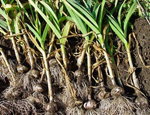 Growing Your Own Garlic Planting Growing Harvesting And Storing Garlic