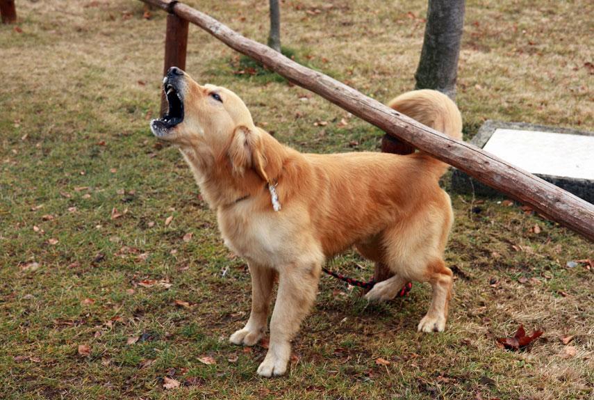 سر و صدا کردن سگ