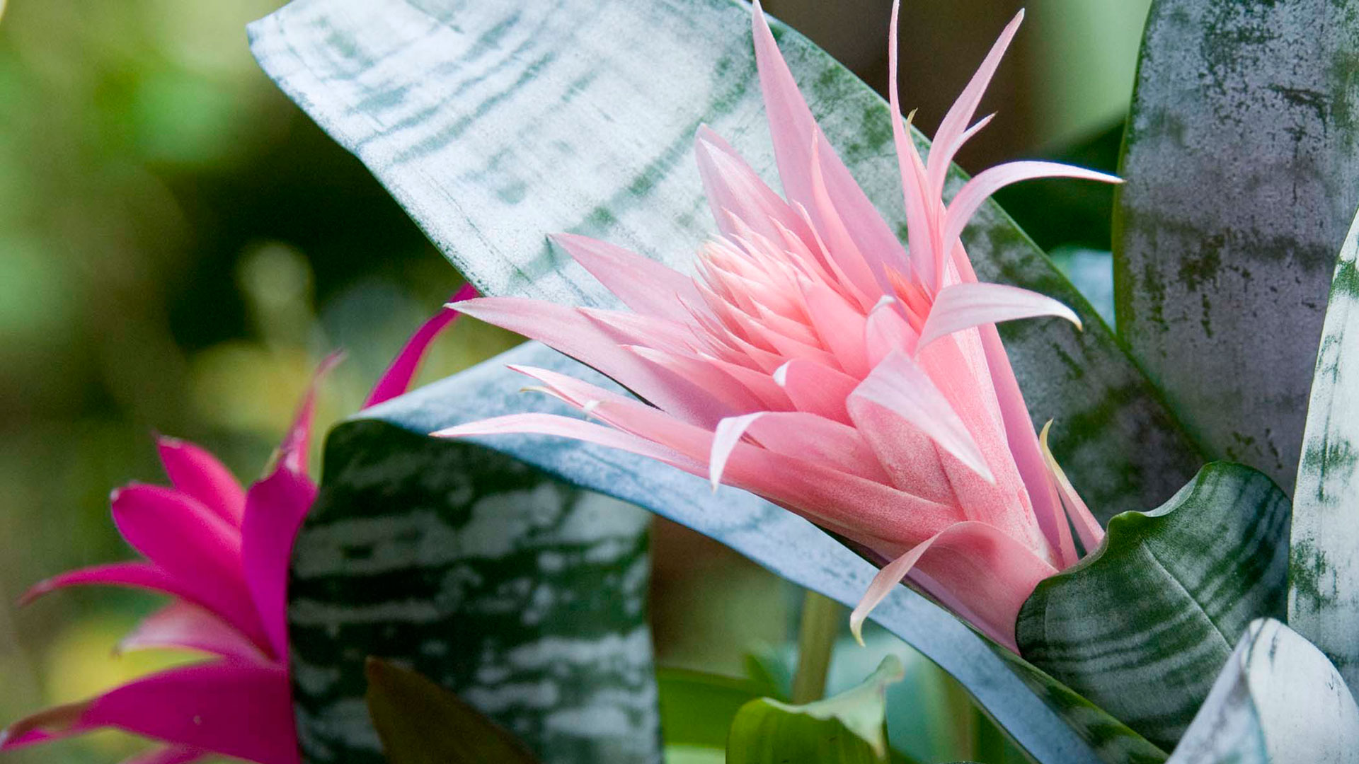 Flowering tropical house plant pictures