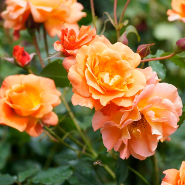 Image gallery orange rose color flowers for The meaning of orange roses