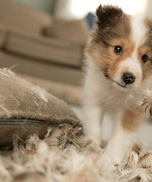 Why Dogs Destroy Their Toys Dog Training Dog Behavior