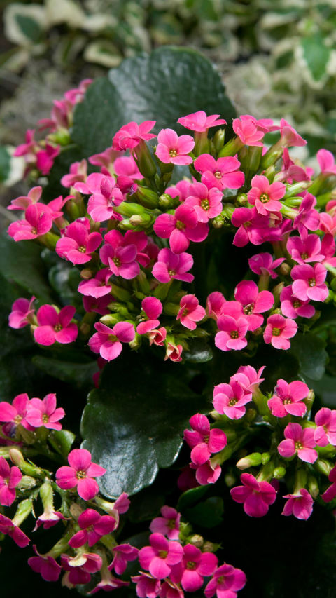Easy care flowering houseplants new house designs cool 20 red flowering house plants design decoration of are mightylinksfo